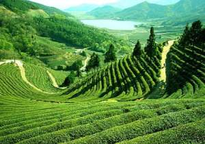 Top 3 Tea Gardens of India